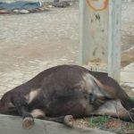 burro_eletrocutado